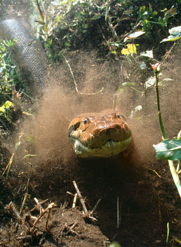 Anaconda sous l'eau