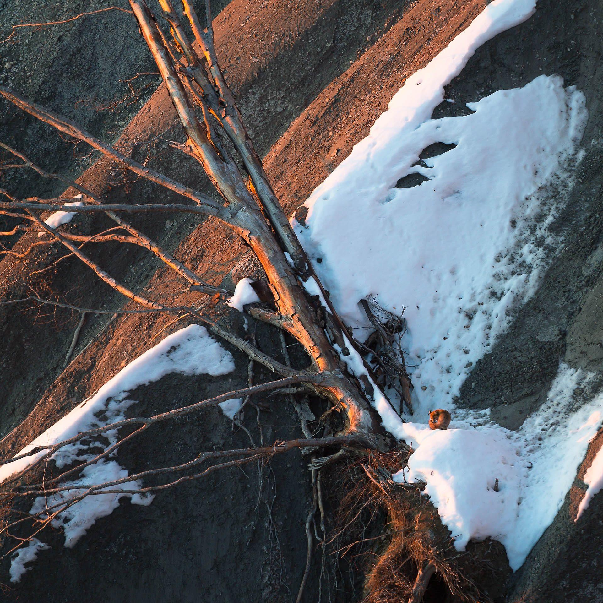Maître Goupil sous son arbre lové